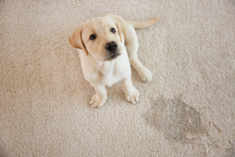 Here Are A Few Useful Cleaning Tips For Pet Owners