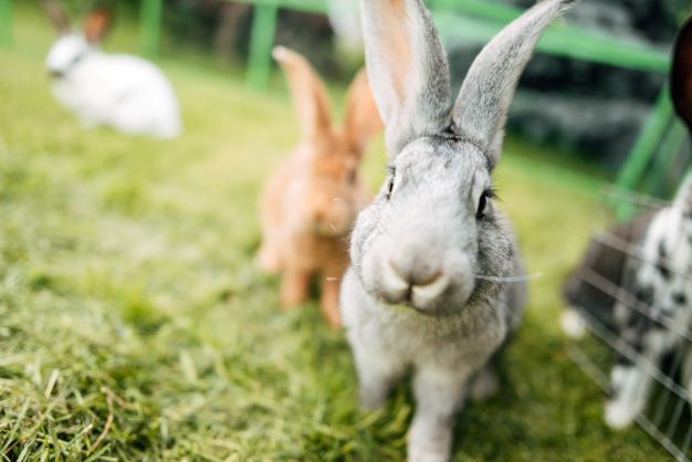 Rabbit Ownership in a Post-Pandemic World: Adjusting and Adapting